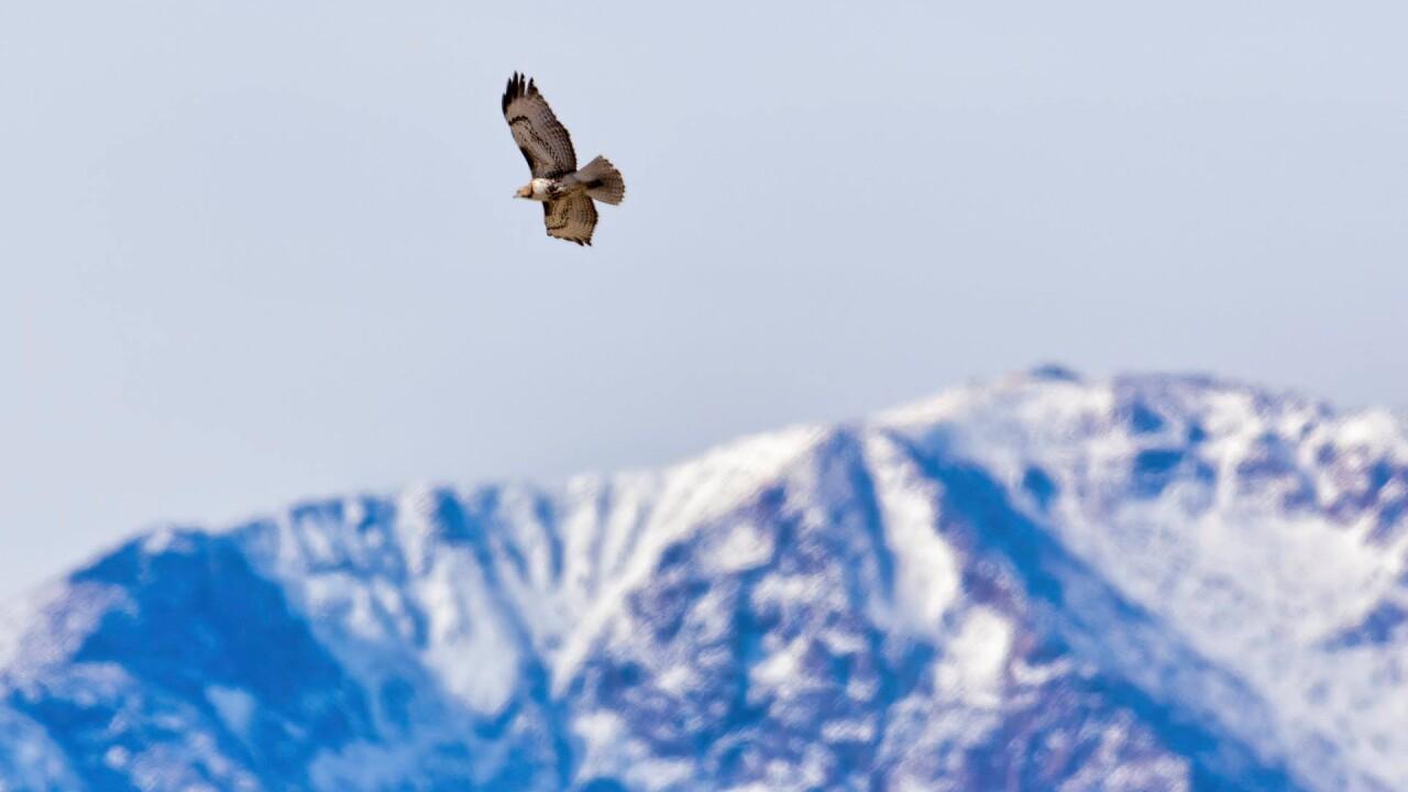 Hawk over Pikes Peak