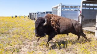 Yellowstone bison transferred to Fort Peck Indian Reservation