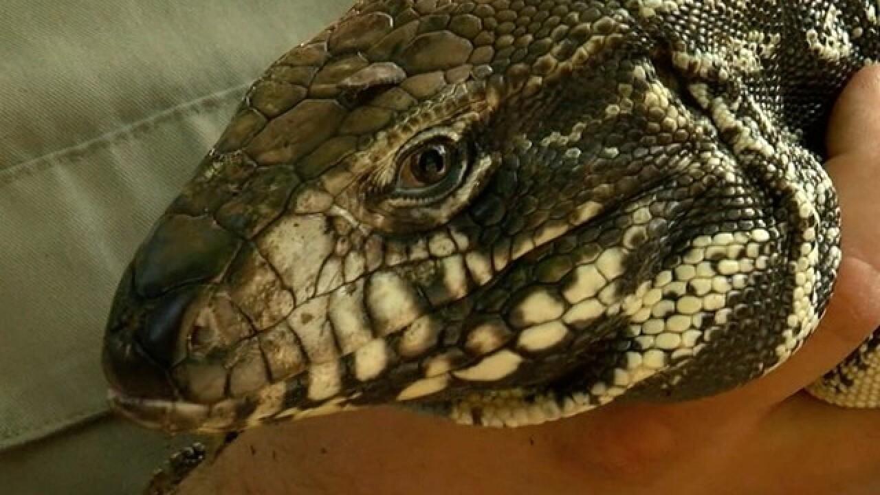 The Largest Lizards in the World - WorldAtlas.com   Giant Tegu Lizard