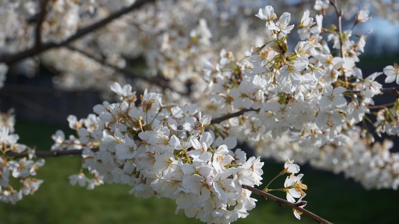 Cherry Blossom Trees Start To Bloom At White River State Park