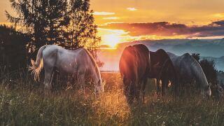 Horses at sunset