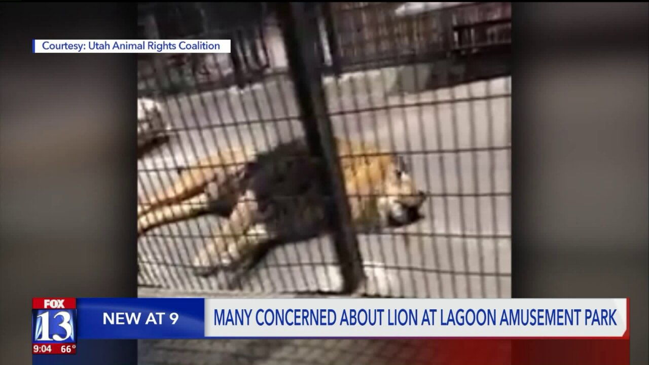 Video of lion at Lagoon Amusement Park draws fire; Lagoon responds