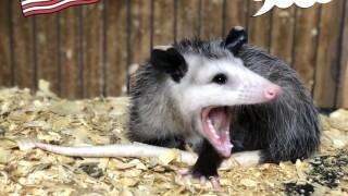 opossum, III.jpeg