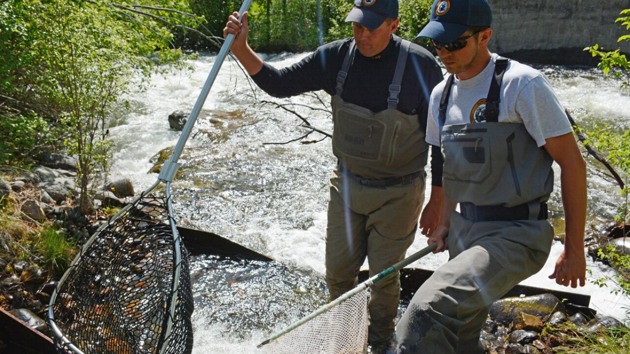 Trout tags reveal migration, spawning and reliance on cold water habitat