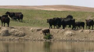 Cattle in NE Montana by Reservoir.jpg