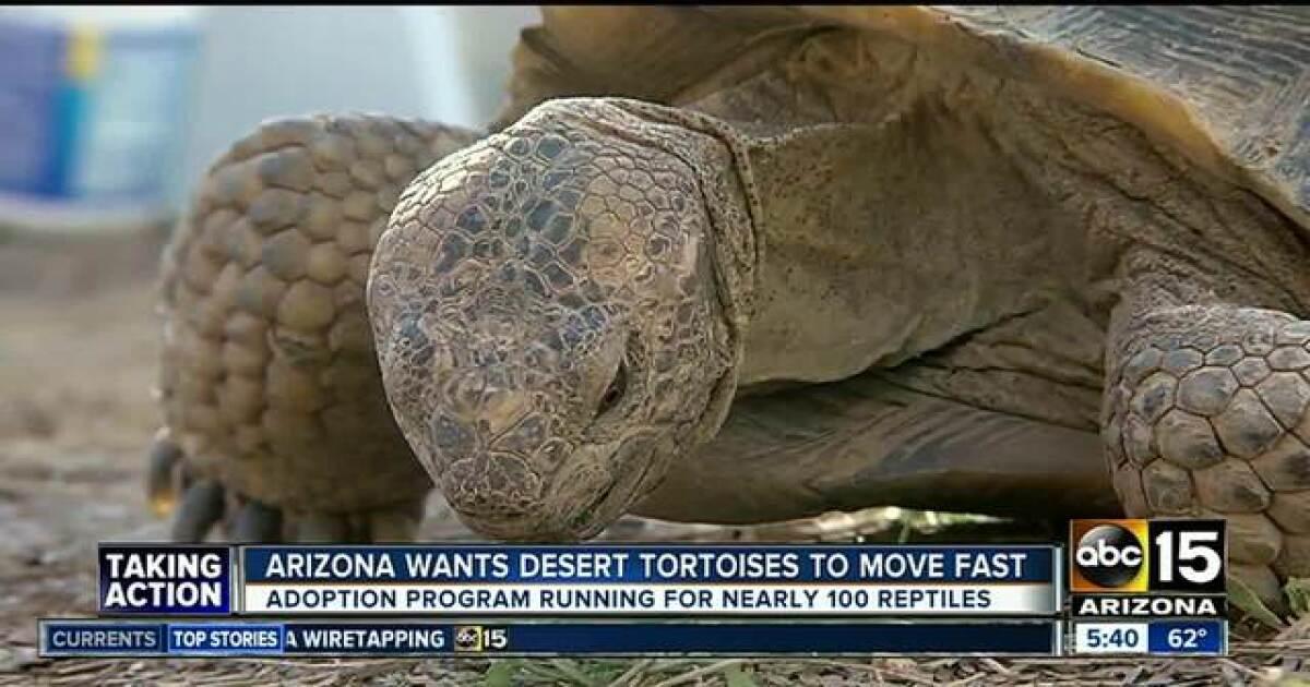 Desert tortoises up for adoption from Arizona Game and Fish