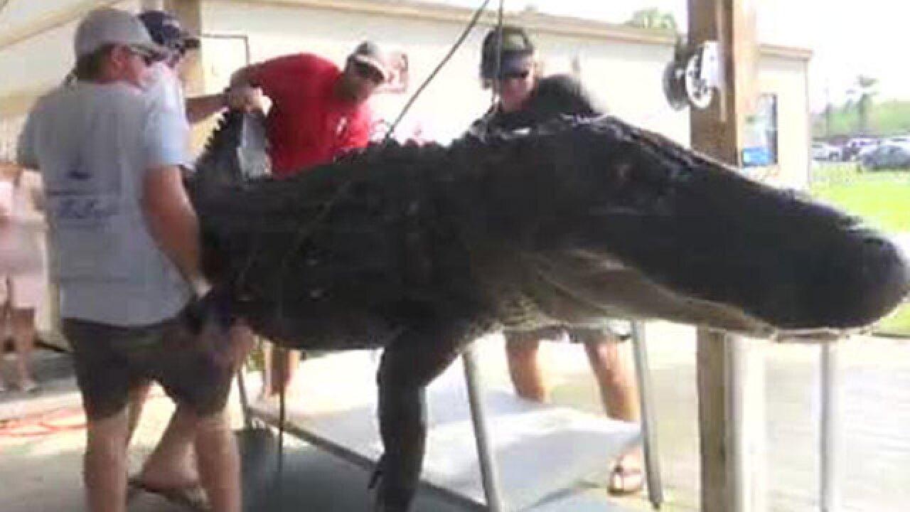 Massive alligator caught in Florida