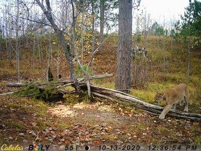 Cougar sighting Oct 13 2020 -2.jpg