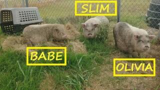 pigs-city-of-kingsville-animal-shelter.jpg