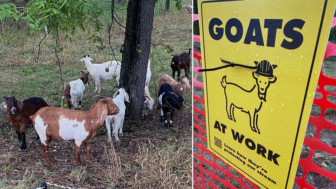 lenexa goat mitigation.jpg