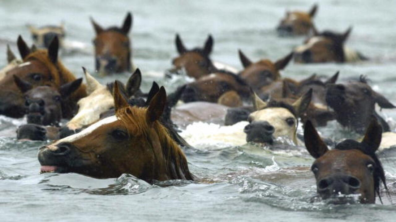 Wild ponies make annual swim from Assateague to Chincoteague