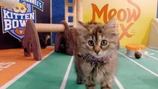 Local animal shelters celebrate Kitten Bowl V