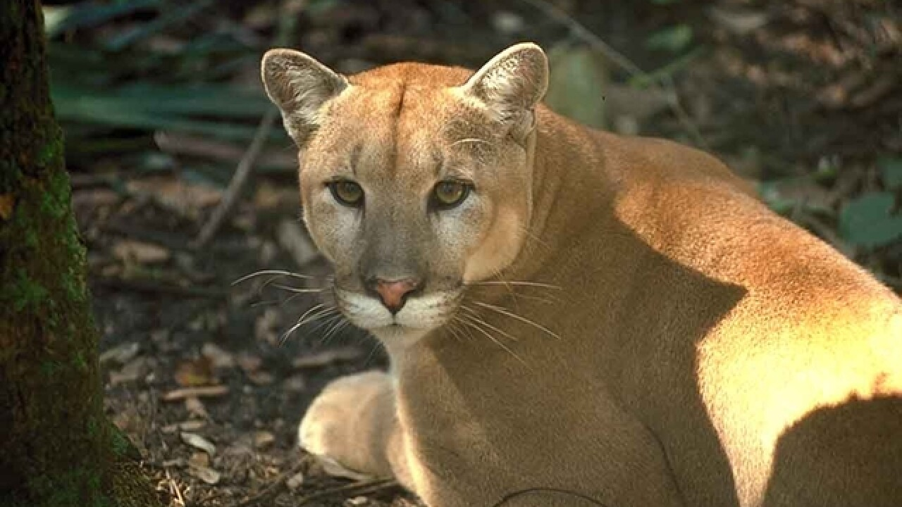 Another Florida panther struck and killed by vehicle