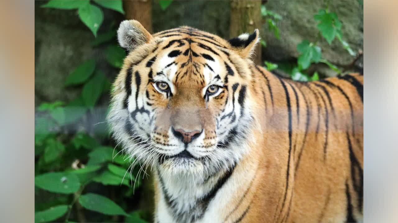 Sivaki the Amur tiger, potter park zoo