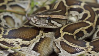 Florida Is Testing To See How Pythons Can Be Safely Eaten To Combat Overpopulation