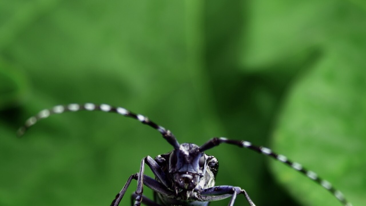 Beetle of death? It could kill millions of trees