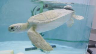 Kai the green sea turtle.png