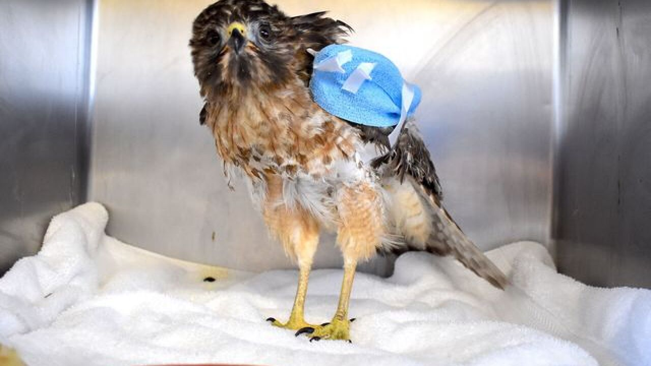 Hawk recovering after getting stuck in truck