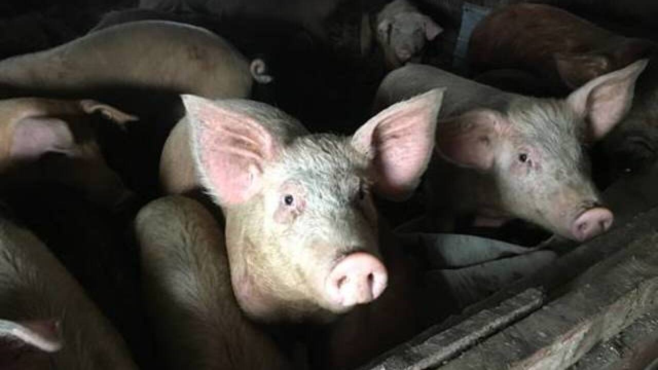 85 pigs taken from WNY owner, charges likely