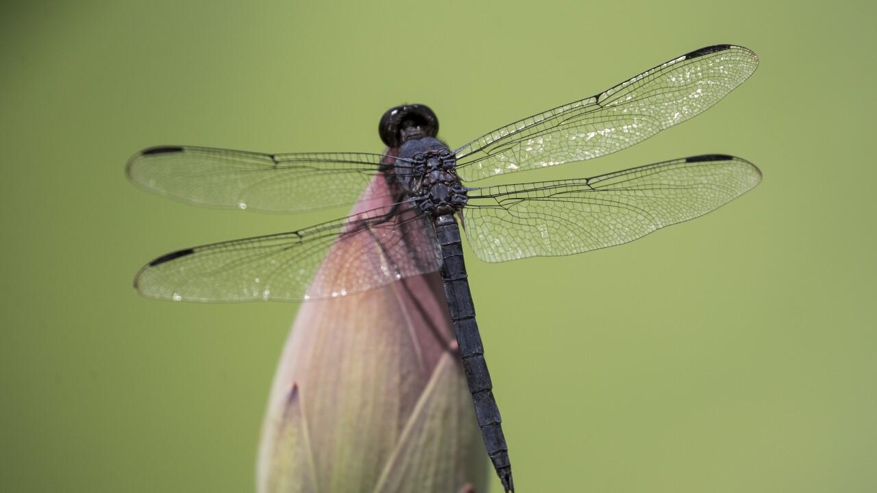 Washington Daily Life Dragonfly