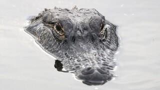 alligator_water.jpg