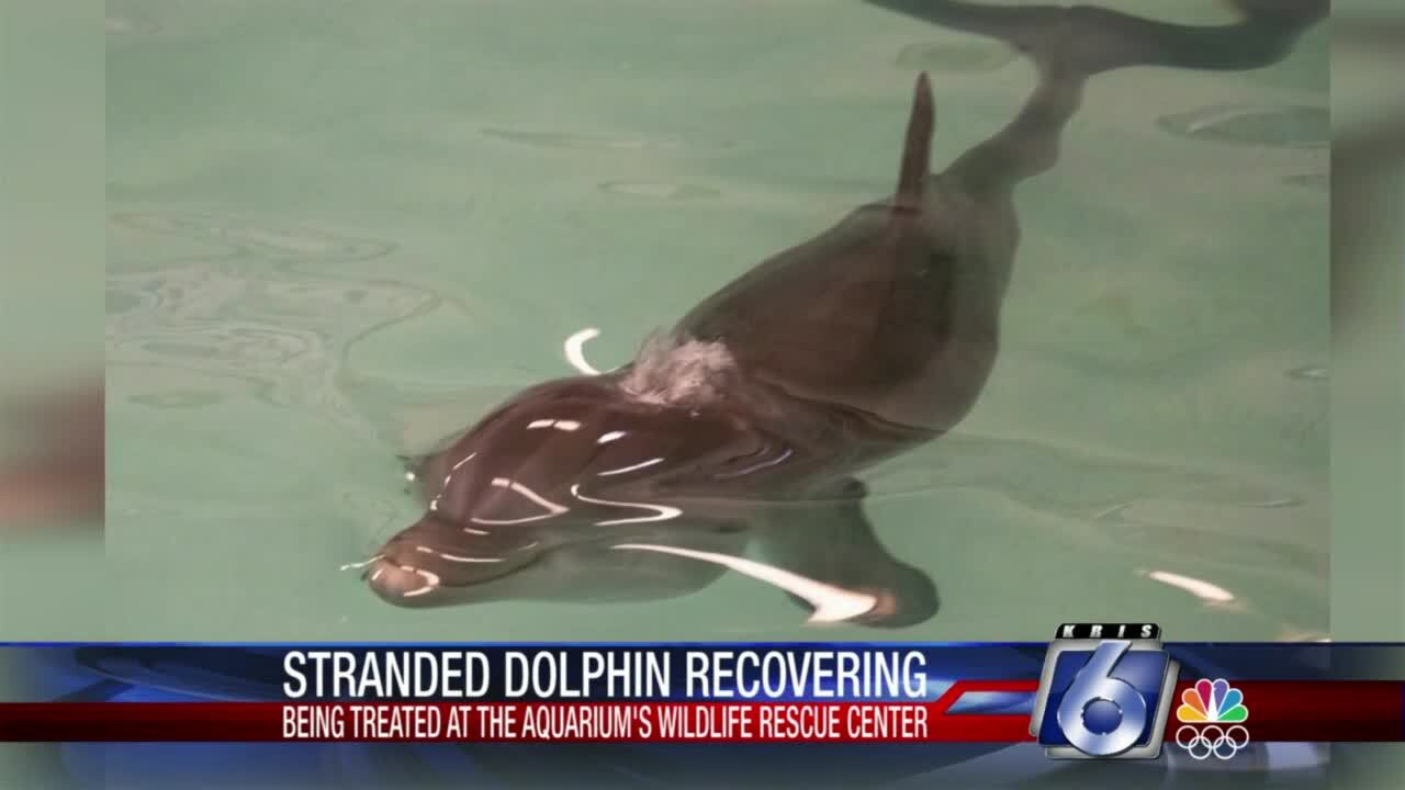 Stranded dolphin recovering at Texas State Aquarium