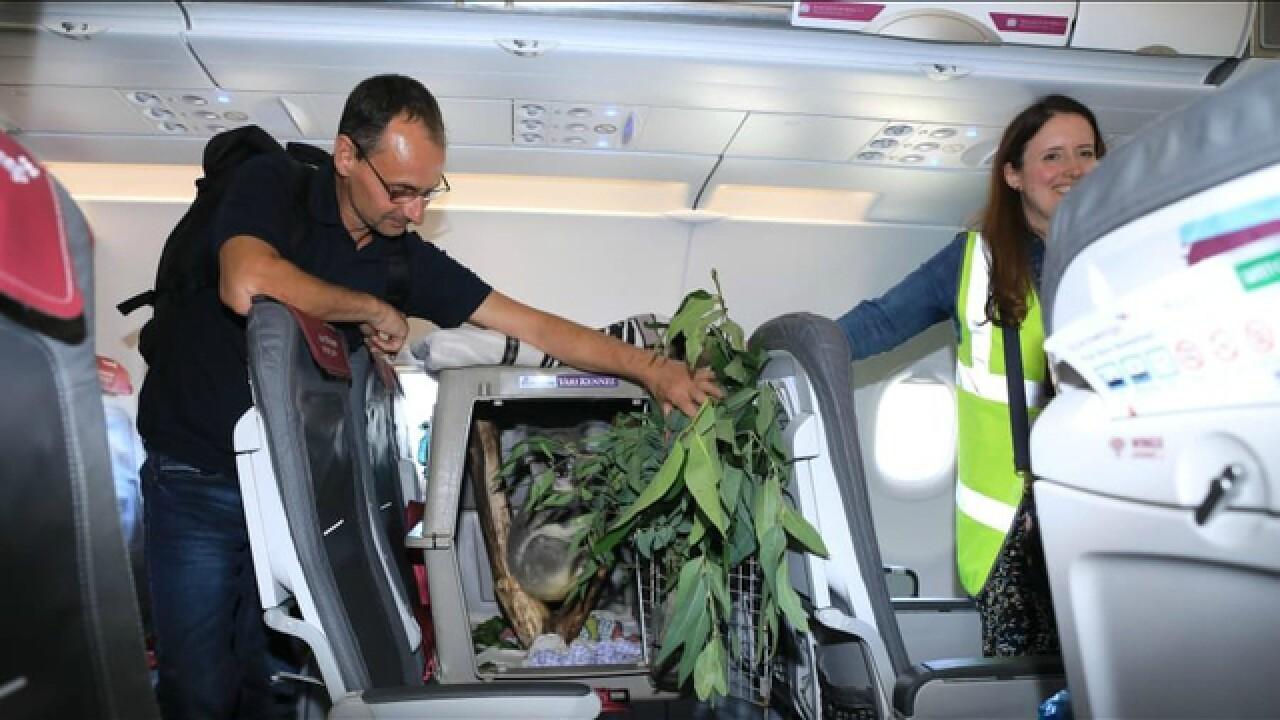 Koala has its own seat on an airplane