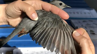Gray Catbird captured and banded by University of Montana Bird Ecology Lab Avian Field Technician Boo Curry.