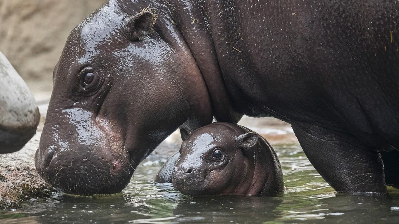 san diego zoo Pygmy Hippo Calf akobi 3