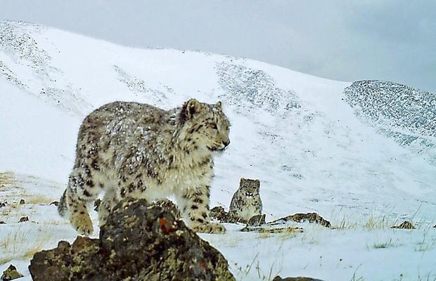 snow-leopard-siberia.jpg