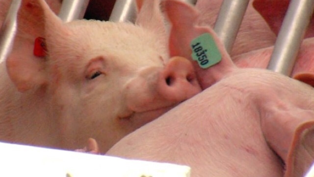 I-71 crash sets 150+ pigs loose on highway