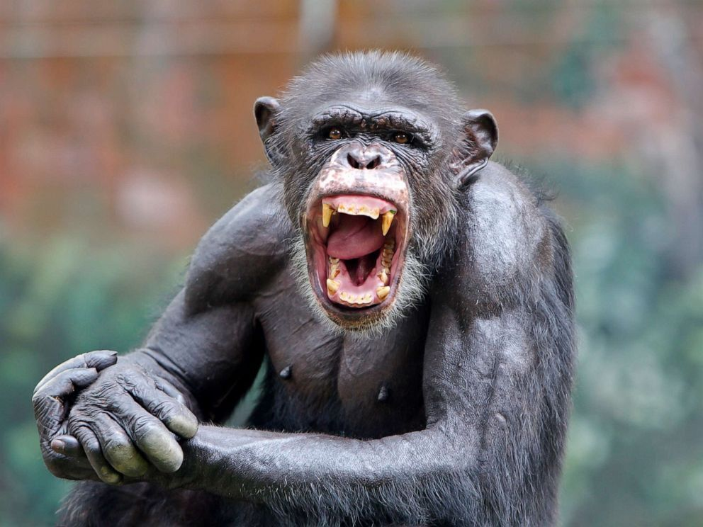 STOCK PHOTO/Getty Images. A chimpanzee smiles in this stock photo.