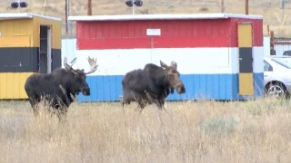 Moose family make surprise stop in Butte