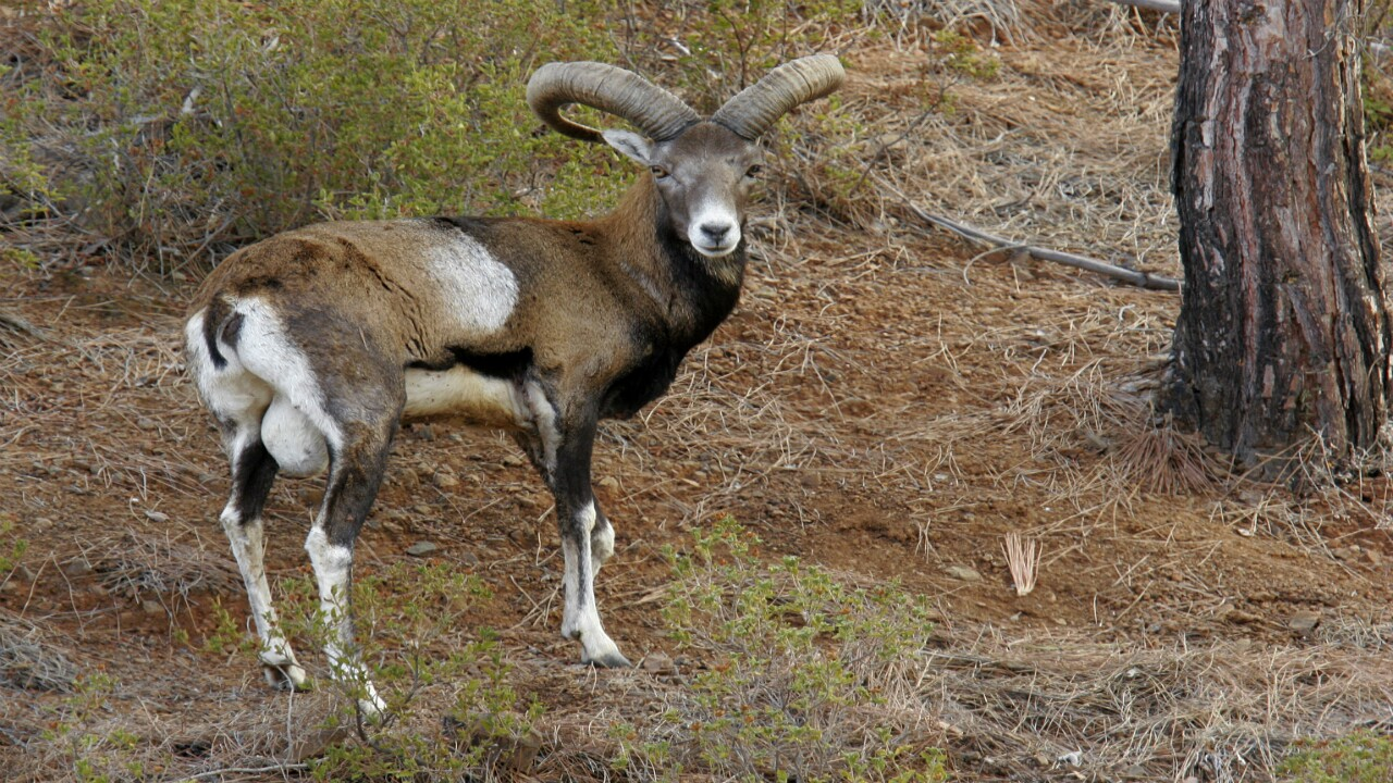 Mouflon Sheep.jpg