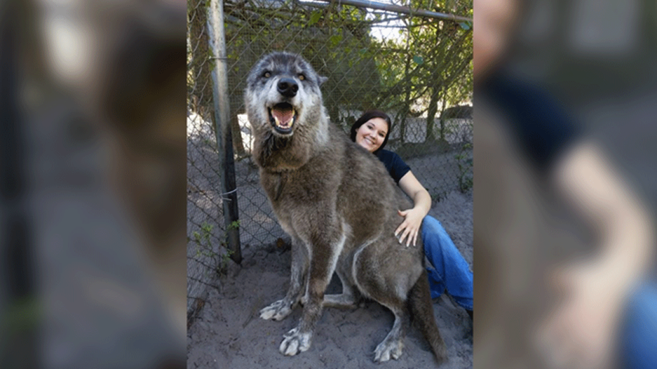 Photo of giant wolf-dog rescued from kill shelter by Shy Wolf Sanctuary in Naples is going viral