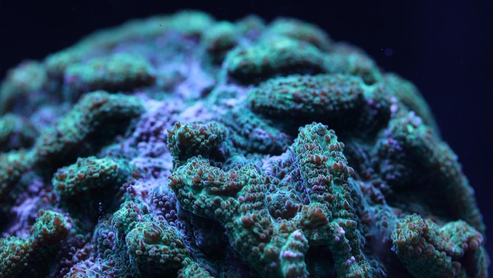 cactus-coral3.png