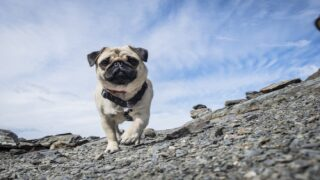 Pug Races Are Super Popular In Germany And They're Adorable
