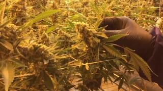 Nevada AG evaluating ramifications of DOJ rescinding policy on legal marijuana