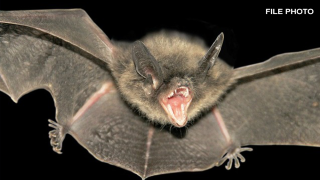 bat-generic-rabid-bat-rabies.png