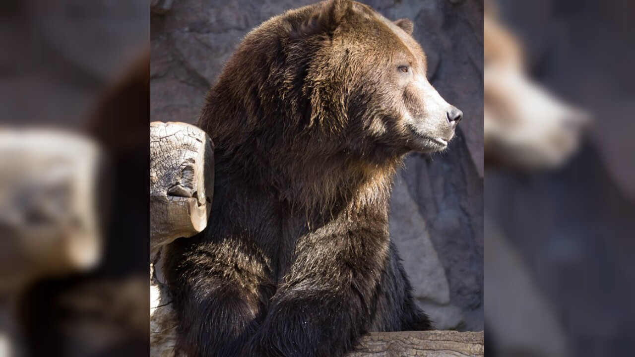 Denver Zoo grizzly bear dies because of health issues