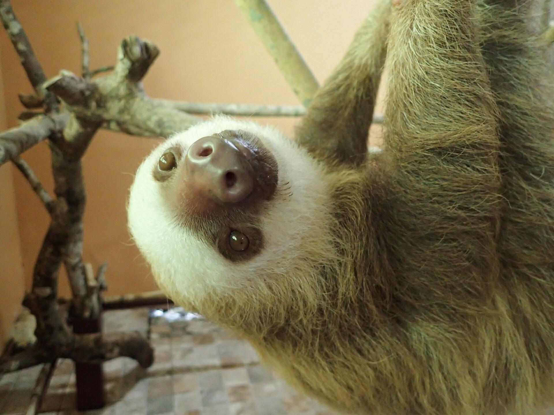Baby Sloths (19).JPG