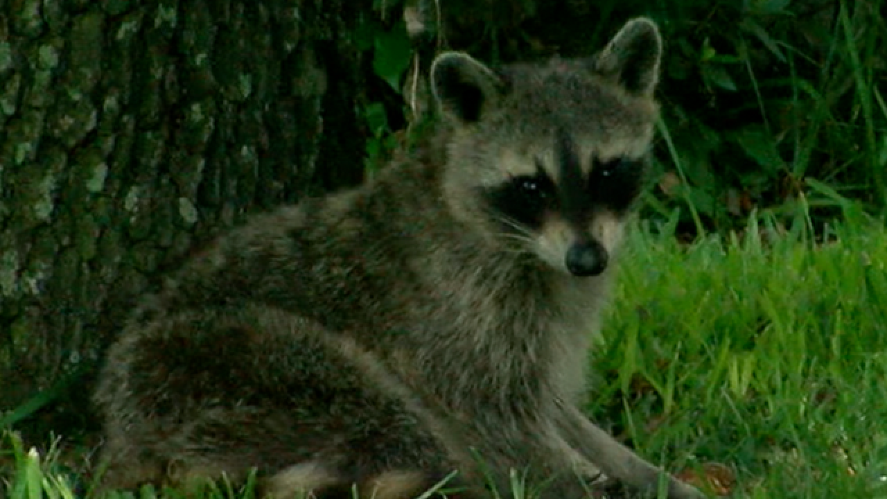 Sick raccoons wandering into yards poses a problem for Hernando County property owners