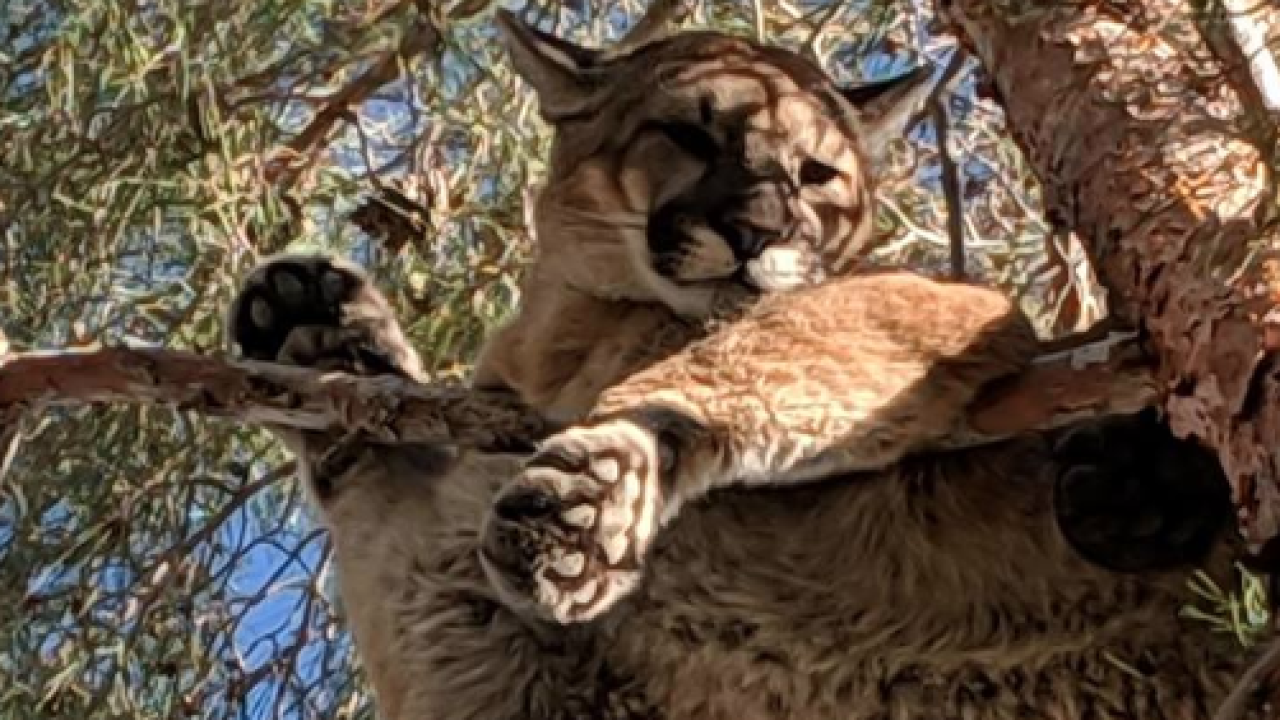 mountain lion in tree