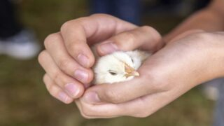 People Are Panic-buying Chicks During The Coronavirus Pandemic