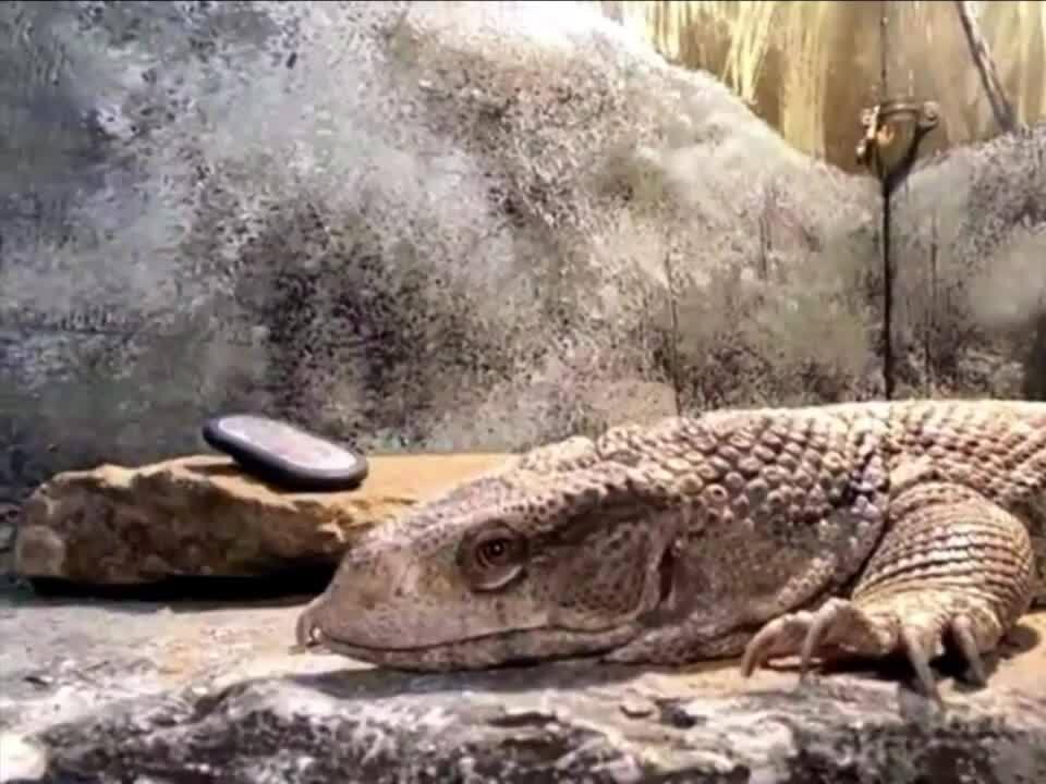 Meet ZooMontana's savannah monitor lizard
