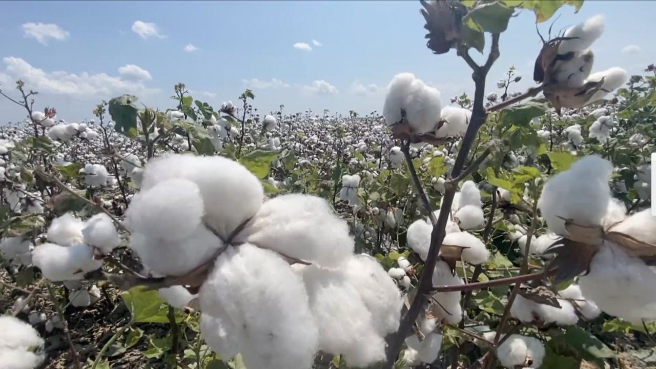 Cotton prices hit 10-year high to the delight of Coastal Bend farmers