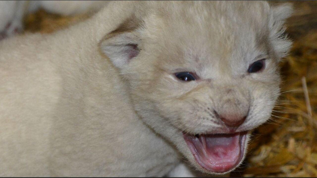 3 White lion cubs born at Metro RichmondZoo