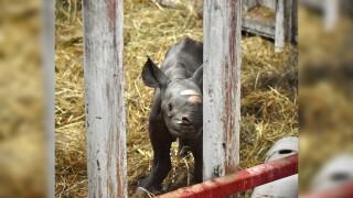 Michigan zoo's critically endangered black rhino gives birth on Christmas Eve