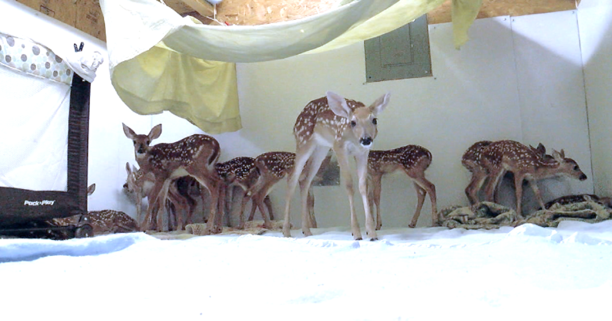 Orphaned fawns overwhelm Green Country animal rescue: 'Leave fawns alone'