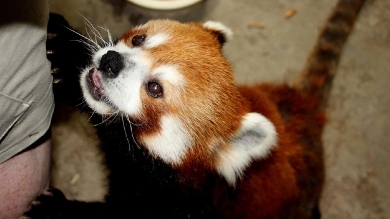 Red (panda) alert: The beetles are back!